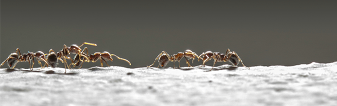 É necessário fazer dedetização de formigas?